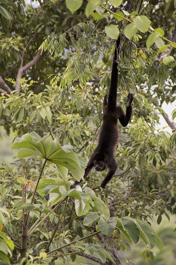Howler monkeys are common sightings